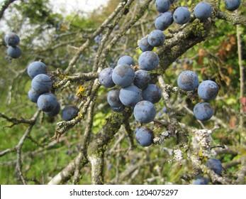 Blackthorn berries on a bush