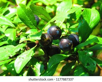 blackthorn berry, Prunus spinosa,