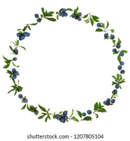 Blackthorn berry wreath on white background also known as sloe berry. Prunus spinosa.