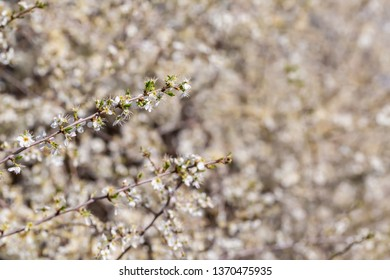 Blackthorn. Blooming and crumbling blackthorn in springtime. Spring bushes with soft focus and blurry. Nature wallpaper blurry background. Soft focus.
