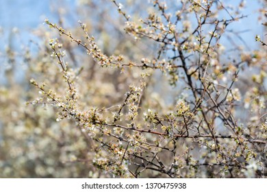 Blackthorn. Blooming and crumbling blackthorn in springtime. Spring bushes with soft focus and blurry. Blue sky. Nature wallpaper blurry background. Soft focus.