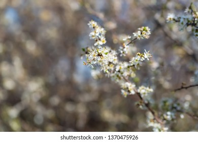 Blackthorn. Blooming blackthorn in springtime. Spring bushes with soft focus and blurry. Nature wallpaper blurry background. Soft focus.