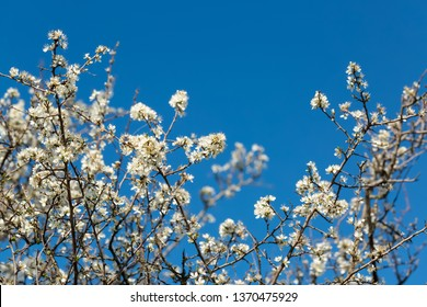 Blackthorn. Blooming blackthorn in springtime. Spring bushes with soft focus and blurry. Blue sky. Nature wallpaper blurry background. Soft focus.