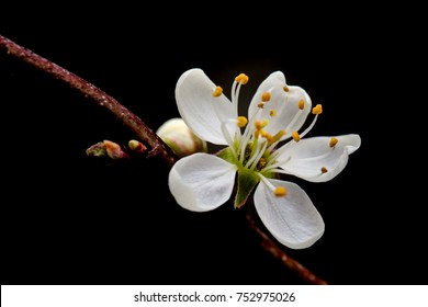 Blackthorn blossom in front of black background.