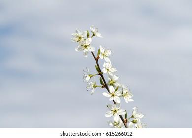 Blackthorn Blossom ( Prunus spinosa )
