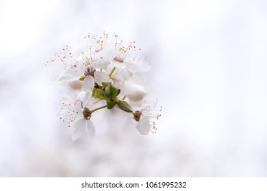 Blackthorn Blossom Rootstoack