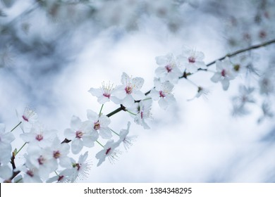 Blackthorn blossoms in the spring