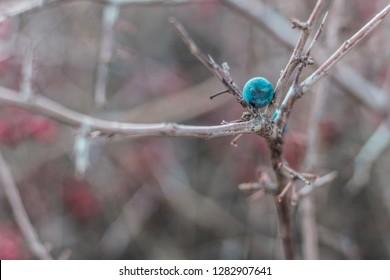 Blackthorn. Blue, ripe berries of wild blackthorn on a branch in late autumn. Blackthorn berries, Prunus spinosa.