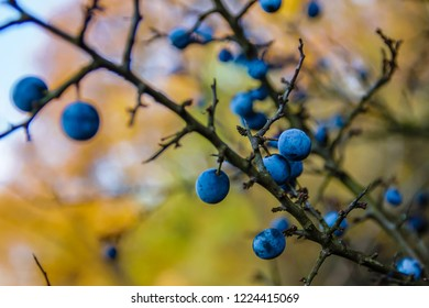 Blackthorn with blue-black fruits on the tree in the autumn colors in garden with nice sky, Austria