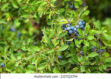 Blackthorn bush with berries