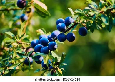 Blackthorn Fruit - Prunus spinosa
