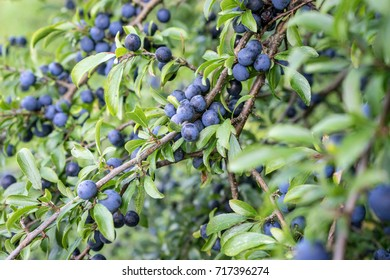 Blackthorn shrub with ripe fruits / Blackthorn shrub / black thorn