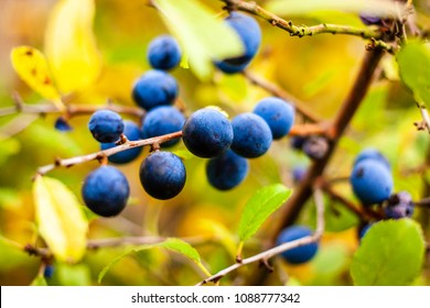 Blackthorn tree with fruits