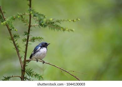 A Black-throated Blue Warbler perched on an open branch with a smooth green background in soft light.