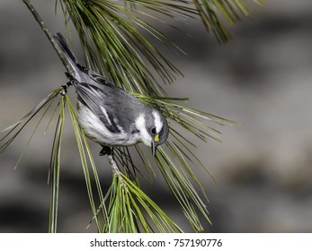 Black-throated Gray Warbler Foraging on Pine Tree