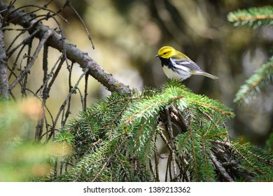 A Black-throated Green Warbler pauses on a pine tree at Colonel Samuel Smith Park in Toronto, Ontario, during spring migration.