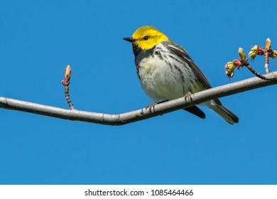 Black-throated Green Warbler perched on a branch. Ashbridges Bay Park, Toronto, Ontario, Canada.