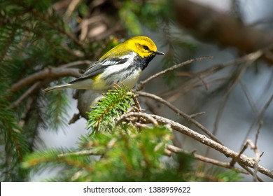 Black-throated Green Warbler perched on an evergreen branch. Colonel Samuel Smith Park, Toronto, Ontario, Canada.