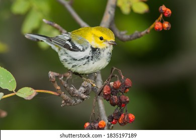 A Black-throated Green Warbler is perched on a branch with dried up orange Mountain Ash berries. Rosetta McClain Gardens, Toronto, Ontario, Canada.