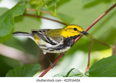 Black-throated Green Warbler, Setophaga virens
