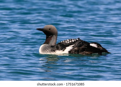 Schwarzer Kehlkopf (Gavia arctica) im Schwarzen Meer