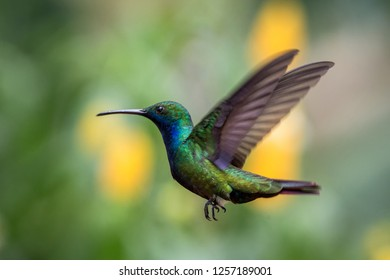 Black-throated mango (Anthracothorax nigricollis) hovering in the air, caribean tropical forest, Trinidad and Tobago, bird on colorful clear background,beautiful hummingbird in flight