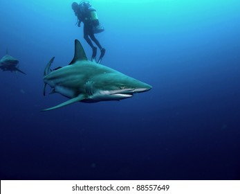 Black-tip (Carcharhinus limbatus) and Bull shark (Carcharhinus leucas) circling a scuba diver