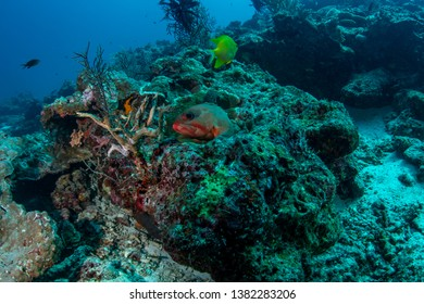 Blacktip Grouper, Epinephelus fasciatus closeup photography