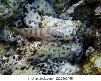 Blacktip grouper Epinephelus fasciatus at the coral reefs of the Gulf of Eilat, Red Sea