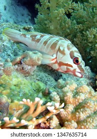 Blacktip grouper (epinephelus fasciatus). Taking in Red Sea, Egypt.