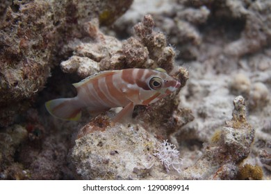 Blacktip Grouper on Coral Reef in Red Sea off Dahab, Egypt