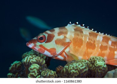 Blacktip Grouper in profile resting on coral