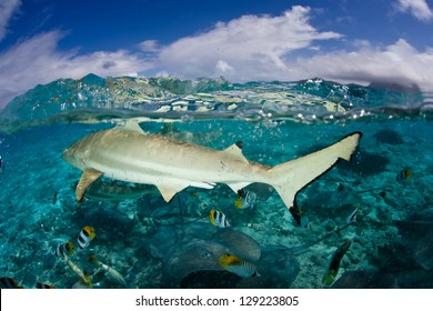 A Blacktip reef shark (Carcarhinus melanopterus) swims in shallow waters, excited by food in the water near a French Polynesian island.