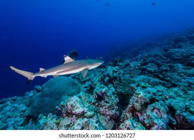 Blacktip reef shark, Carcharhinus melanopterus  (Quoy & Gaimard, 1824), swimming in around coral reef. Federated State of Micronesia