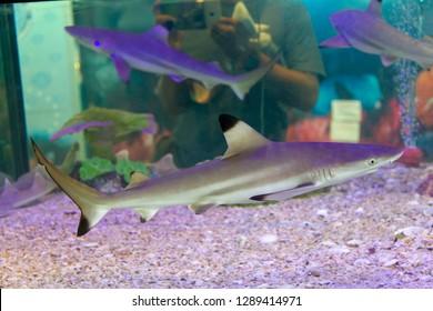 Blacktip reef shark (Carcharhinus melanopterus) swimming in aquarium