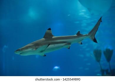 Blacktip reef shark (Carcharhinus melanopterus).