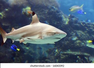 Blacktip Reef Shark (Carcharhinus melanopterus) swimming over tropical coral reef.