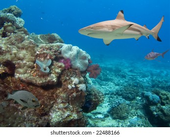 Blacktip Reef Shark (Carcharhinus melanopterus) swimming over tropical coral reef.