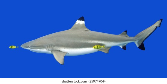 Blacktip Reef Shark, Carcharhinus melanopterus, with yellow Pilotfish, Gnathanodon speciosus.