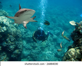 Blacktip Reef Shark (Carcharhinus melanopterus) swimming over diver in background.