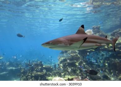 Blacktip Reef Shark (Carcharhinus melanopterus) swimming over reef.