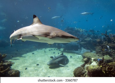 Blacktip Reef Shark (Carcharhinus melanopterus), swimming over reef, with sharks in background