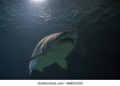 The blacktip reef shark Carcharhinus melanopterus is a species of requiem shark, in the family Carcharhinidae, easily identified by the prominent black tips on its fins .