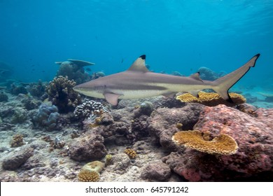 Blacktip Reef Shark (Carcharhinus melanopterus) swimming over tropical coral reef. Seychelles