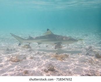 blacktip reef shark, Carcharhinus melanopterus, submarine view of a shark