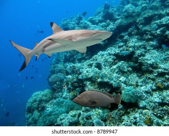 Blacktip Reef Shark (Carcharhinus melanopterus) and Peacock Cod (Cephalopholis argus)  swimming over tropical coral reef.