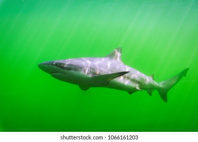 Blacktip reef shark (Carcharhinus melanopus) Marine fish swimming in emerald waters.