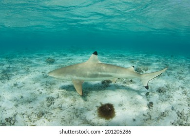 A Blacktip reef shark cruises through the shallows of a lagoon in French Polynesia. This part of the tropical South Pacific is known for its many sharks, fish, and coral reefs.