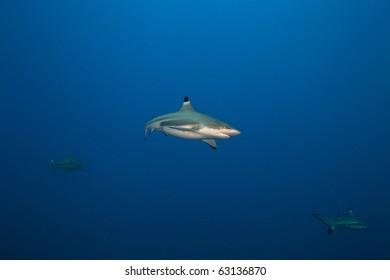 Blacktip reef shark in deep blue of Pacific Ocean
