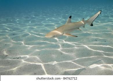 Black-tip reef shark in deep blue of Pacific Ocean